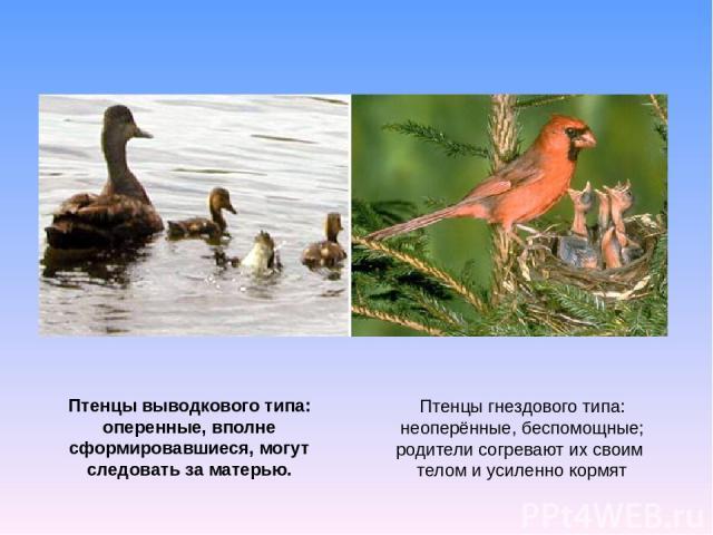 Птенцы гнездового типа: неоперённые, беспомощные; родители согревают их своим телом и усиленно кормят Птенцы выводкового типа: оперенные, вполне сформировавшиеся, могут следовать за матерью.