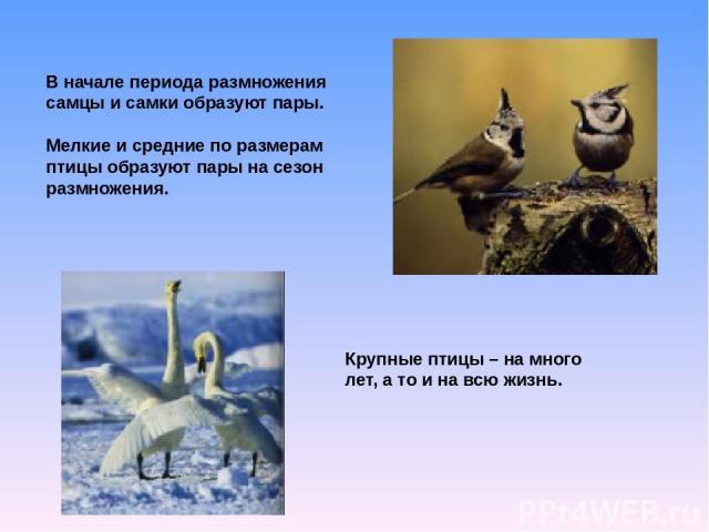 В начале периода размножения самцы и самки образуют пары. Мелкие и средние по размерам птицы образуют пары на сезон размножения. Крупные птицы – на много лет, а то и на всю жизнь.