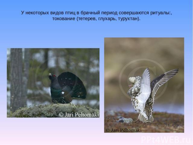 У некоторых видов птиц в брачный период совершаются ритуалы:, токование (тетерев, глухарь, турухтан).