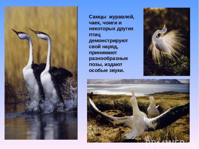 Самцы журавлей, чаек, чомги и некоторых других птиц демонстрируют свой наряд, принимают разнообразные позы, издают особые звуки.