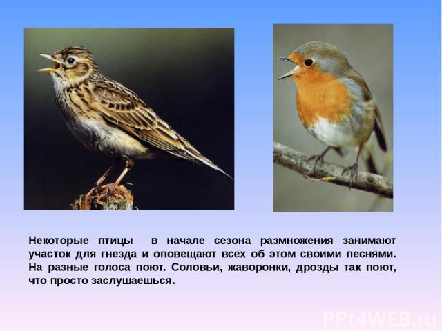 Некоторые птицы в начале сезона размножения занимают участок для гнезда и оповещают всех об этом своими песнями. На разные голоса поют. Соловьи, жаворонки, дрозды так поют, что просто заслушаешься.