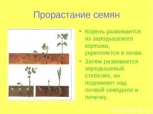 Прорастание семян Корень развивается из зародышевого корешка, укрепляется в почв