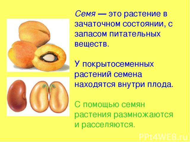 Семя — это растение в зачаточном состоянии, с запасом питательных веществ. У покрытосеменных растений семена находятся внутри плода. С помощью семян растения размножаются и расселяются.