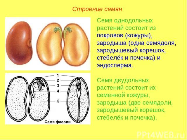 Семя однодольных растений состоит из покровов (кожуры), зародыша (одна семядоля, зародышевый корешок, стебелёк и почечка) и эндосперма. Семя двудольных растений состоит их семенной кожуры, зародыша (две семядоли, зародышевый корешок, стебелёк и поче…