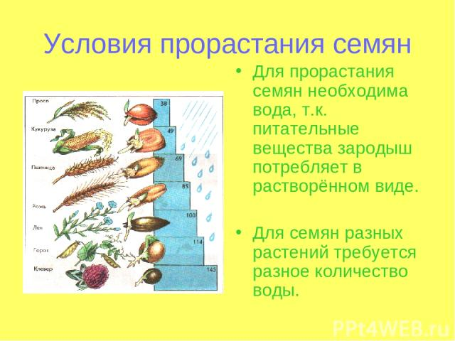 Условия прорастания семян Для прорастания семян необходима вода, т.к. питательные вещества зародыш потребляет в растворённом виде. Для семян разных растений требуется разное количество воды.