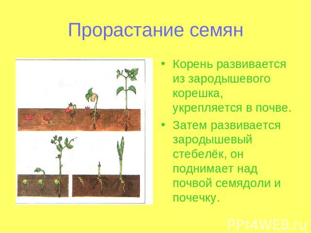 Прорастание семян Корень развивается из зародышевого корешка, укрепляется в почве. Затем развивается зародышевый стебелёк, он поднимает над почвой семядоли и почечку.