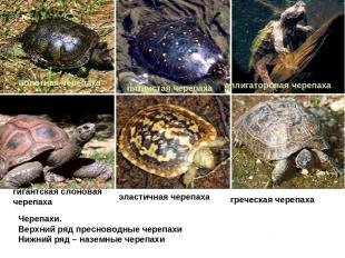 Черепахи. Верхний ряд пресноводные черепахи Нижний ряд – наземные черепахи болот