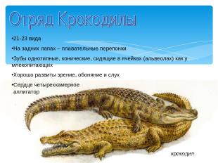 крокодил аллигатор 21-23 вида На задних лапах – плавательные перепонки Зубы одно
