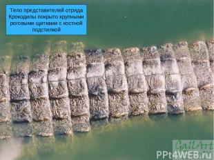 Тело представителей отряда Крокодилы покрыто крупными роговыми щитками с костной