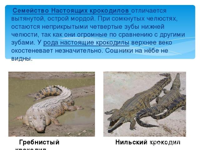 Семейство Настоящих крокодилов отличается вытянутой, острой мордой. При сомкнутых челюстях, остаются неприкрытыми четвертые зубы нижней челюсти, так как они огромные по сравнению с другими зубами. У рода настоящие крокодилы верхнее веко окостеневает…