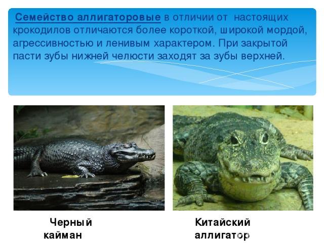 Семейство аллигаторовые в отличии от настоящих крокодилов отличаются более короткой, широкой мордой, агрессивностью и ленивым характером. При закрытой пасти зубы нижней челюсти заходят за зубы верхней. Черный кайман Китайский аллигатор