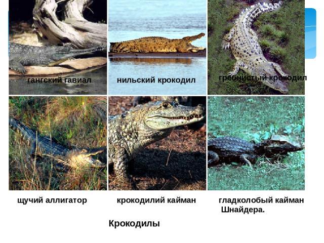 Крокодилы гангский гавиал нильский крокодил гребнистый крокодил щучий аллигатор крокодилий кайман гладколобый кайман Шнайдера.