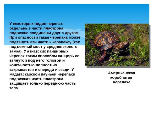 У некоторых видов черепах отдельные части пластрона подвижно соединены друг с другом. При опасности такая черепаха может подтянуть эти части к карапаксу (как подъемный мост у средневекового замка). У азиатских панцирных черепах таким способом панцир…