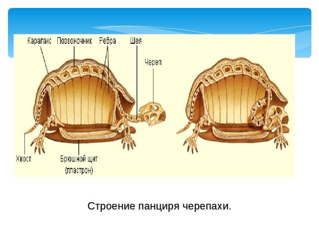 Строение панциря черепахи.