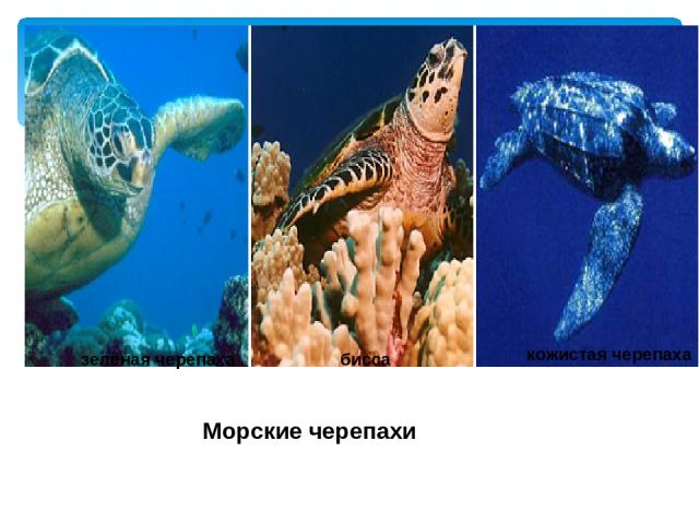Морские черепахи зелёная черепаха бисса кожистая черепаха