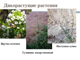 Дикорастущие растения Ярутка полевая Гулявник лекарственный Пастушья сумка