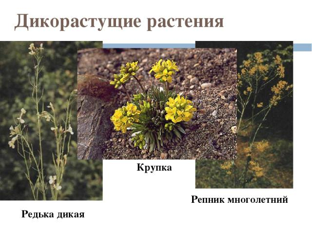 Дикорастущие растения Редька дикая Репник многолетний Крупка