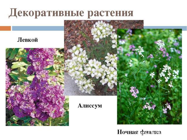 Декоративные растения Левкой Алиссум Ночная фиалка