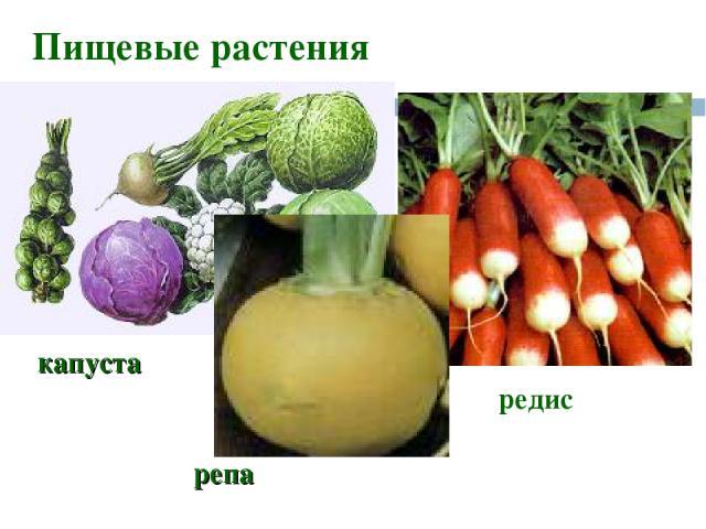 Пищевые растения редис капуста репа