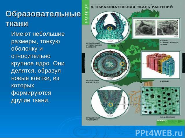 Образовательные ткани Имеют небольшие размеры, тонкую оболочку и относительно крупное ядро. Они делятся, образуя новые клетки, из которых формируются другие ткани.