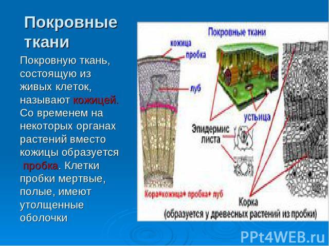Покровные ткани Покровную ткань, состоящую из живых клеток, называют кожицей. Со временем на некоторых органах растений вместо кожицы образуется пробка. Клетки пробки мертвые, полые, имеют утолщенные оболочки