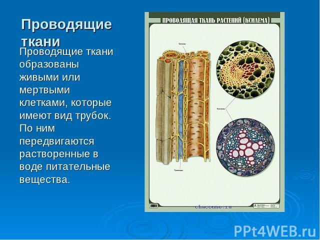 Проводящие ткани Проводящие ткани образованы живыми или мертвыми клетками, которые имеют вид трубок. По ним передвигаются растворенные в воде питательные вещества.