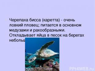 Черепаха бисса (каретта) - очень ловкий пловец; питается в основном медузами и р