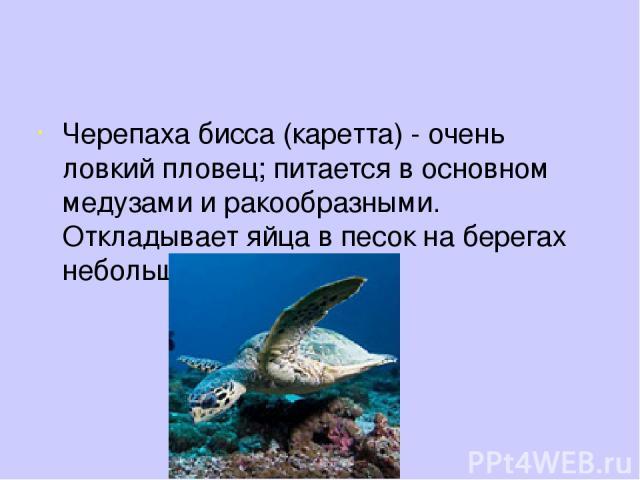 Черепаха бисса (каретта) - очень ловкий пловец; питается в основном медузами и ракообразными. Откладывает яйца в песок на берегах небольших бухт.