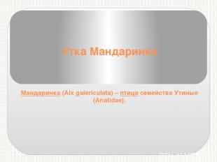 Утка Мандаринка Мандаринка(Aix galericulata) –птицасемейства Утиные (Anatidae
