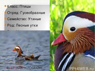 Класс:Птицы Отряд:Гусеобразные Семейство:Утиные Род:Лесные утки Вид:Мандари