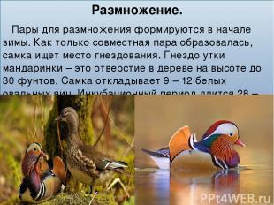 Размножение. Пары для размножения формируются в начале зимы. Как только совместн
