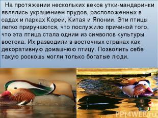 На протяжении нескольких веков утки-мандаринки являлись украшением прудов, распо