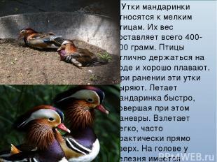 Утки мандаринки относятся к мелким птицам. Их вес составляет всего 400-700 грамм