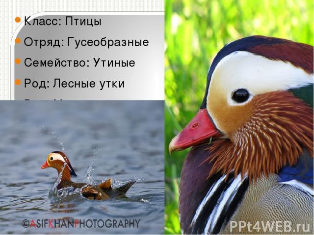 Класс:Птицы Отряд:Гусеобразные Семейство:Утиные Род:Лесные утки Вид:Мандаринка