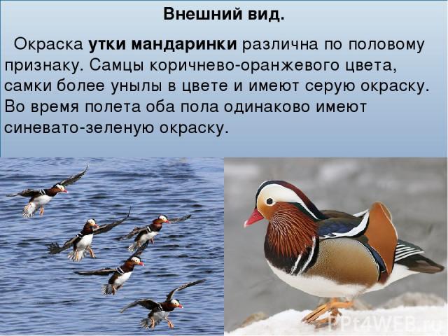 Внешний вид. Окраскаутки мандаринкиразлична по половому признаку. Самцы коричнево-оранжевого цвета, самки более унылы в цвете и имеют серую окраску. Во время полета оба пола одинаково имеют синевато-зеленую окраску.