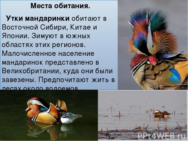 Места обитания. Утки мандаринкиобитают в Восточной Сибири, Китае и Японии. Зимуют в южных областях этих регионов. Малочисленное население мандаринок представлено в Великобритании, куда они были завезены. Предпочитают жить в лесах около водоемов.