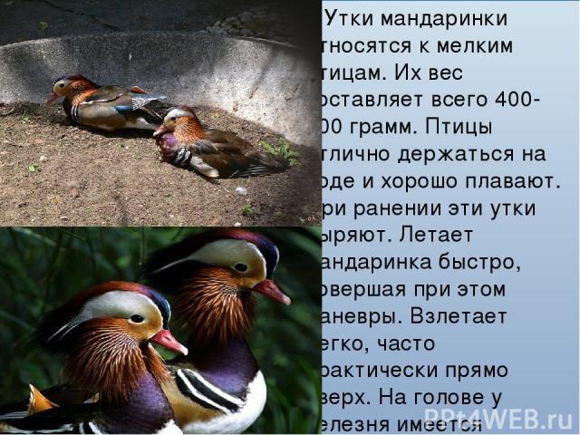 Утки мандаринки относятся к мелким птицам. Их вес составляет всего 400-700 грамм. Птицы отлично держаться на воде и хорошо плавают. При ранении эти утки ныряют. Летает мандаринка быстро, совершая при этом маневры. Взлетает легко, часто практически п…