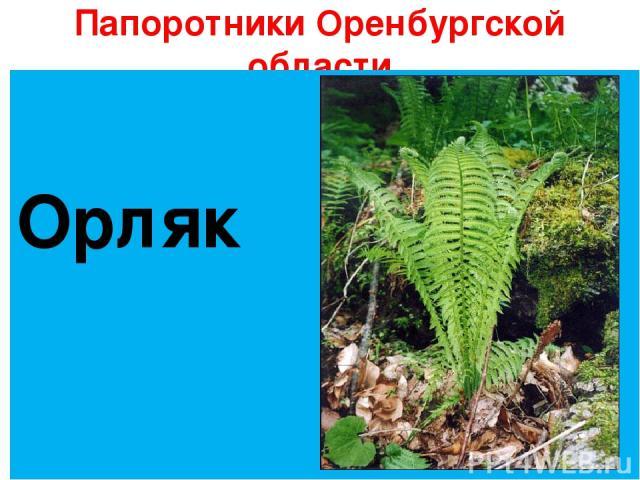 Папоротники Оренбургской области Орляк