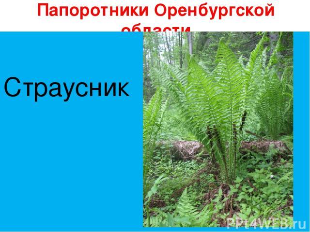 Папоротники Оренбургской области Страусник Страусник