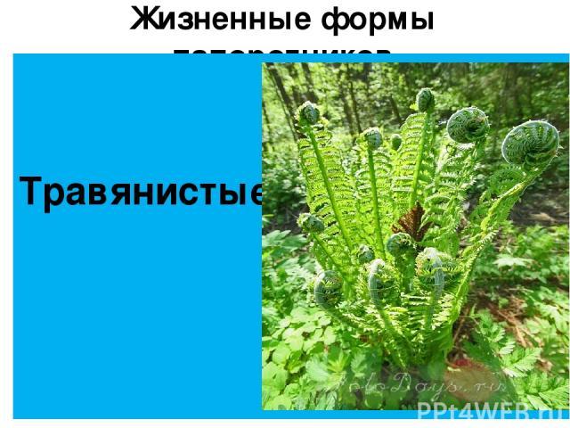 Жизненные формы папоротников Травянистые