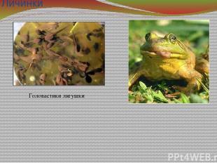 Личинки Головастики лягушки