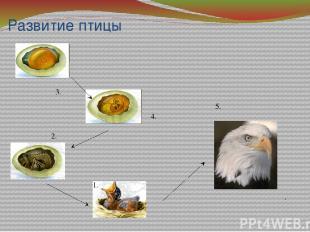 Развитие птицы 4. 3. 1. 2. . 5.