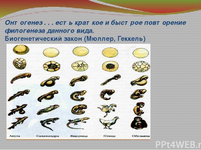 Онтогенез . . . есть краткое и быстрое повторение филогенеза данного вида. Биогенетический закон (Мюллер, Геккель)