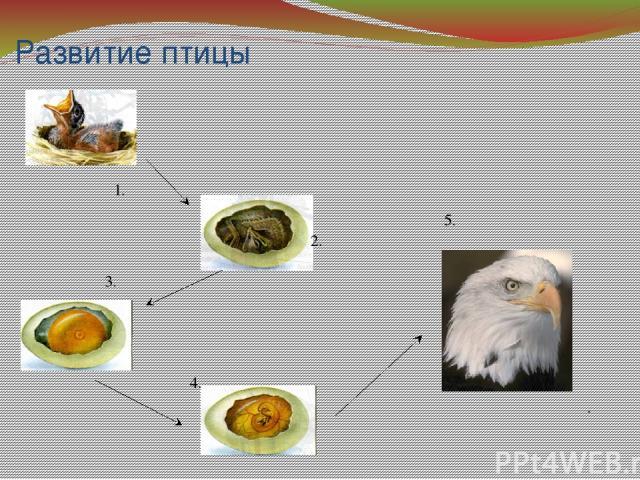 Развитие птицы 2. 1. 4. 3. . 5.