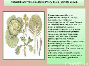 Предком культурных сортов капусты была - капуста дикая. Происхождение. Одна из д