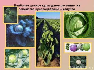 Наиболее ценное культурное растение из семейства крестоцветные – капуста. Наши п