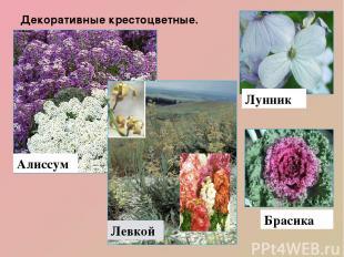 Декоративные крестоцветные. Алиссум Левкой Брасика Лунник Декоративны е растения
