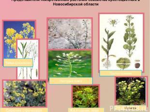 Представители лекарственные растения семейства крестоцветных в Новосибирской обл