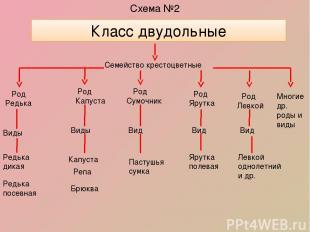 Схема №2 Класс двудольные Семейство крестоцветные Род Редька Виды Редька дикая Р