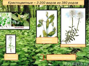 Крестоцветные – 3 200 видов из 380 родов Иберис Чесночная горчица Веснянка весен